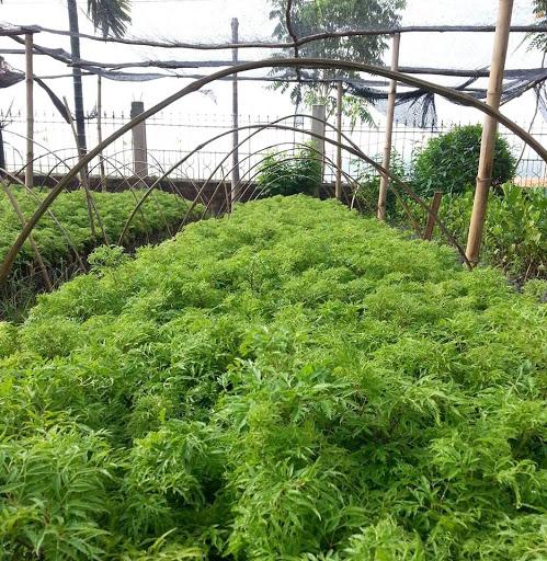 Cây đinh lăng và cách trồng như thế nào để đạt chất lượng tốt