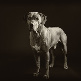 Fogo III by Anita Meis - Animals - Dogs Portraits ( ridgeback, sepia, rhodesian ridgeback, african, low key, black and white, male, dog, rhodesian, lion dog, portrait )