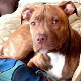 Bella  by Jessie Dautrich - Animals - Dogs Puppies ( loyal, lovable, playful, pitbull, beautiful,  )