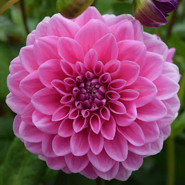 by Amanda Drake-Worth - Flowers Single Flower ( #botanical #flowers #dahlia #dainty #pink #nationaltrust #cotehele )