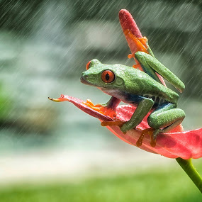 frog in the rain by Tt Sherman - Animals Amphibians ( ilce7ii, rainy, frog, sony alpha, red ayes )