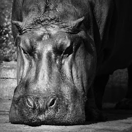 Pablo's Hippo by Pranjal Jain - Black & White Animals ( silent, hippo, cool, cute, heavy, beautiful, face, mammal, african, animal, black and white, aquatic, equine,  )