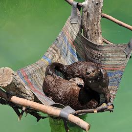 Otters by Dawn Hoehn Hagler - Animals Other Mammals ( zoo, reid park zoo, otters, arizona, tucson )