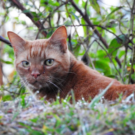 Cat on the hunt by Mary Gallo - Animals - Cats Portraits ( cat, domestic cat, animal,  )