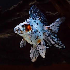 Calico Ryukin by Tracey Taylor - Animals Fish ( water, calico, underwater, ryukin, pet, fish, fishtank, fantail, tank, goldfish )