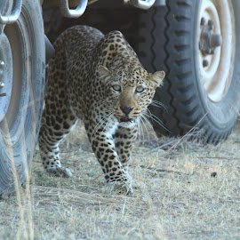 Using cars as cover when hunting by Brett Hickman - Animals Lions, Tigers & Big Cats