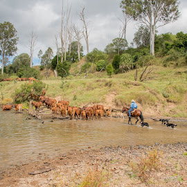 Mustering by Suzanne McCowen - Animals Horses ( #farmlife, #horses, #farming, #mustering, #droughtmaster )