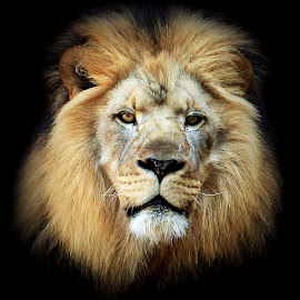 Zuri The Lion  by Abbey Gatto - Animals Lions, Tigers & Big Cats