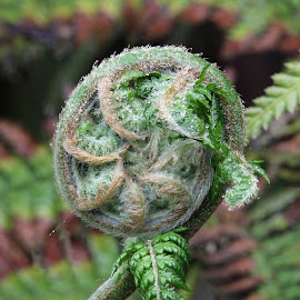 unrolling  by Martyn Bennett - Nature Up Close Leaves & Grasses ( unrolling, fern, green, round, leaves, warter, droplets )