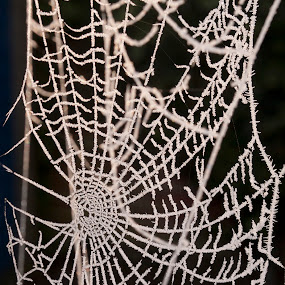 Spidernet by Worowsky Papa - Animals Insects & Spiders ( ice, spider, insect, net, frozen )