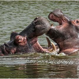 Hippos by Dirk Luus - Animals Other Mammals ( hippo, nature, wildlife, mammal, animal )