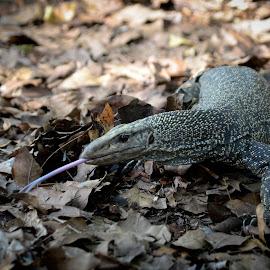 Malayan Water Monitor Lizard by Ci Qing - Animals Reptiles ( wild, reptiles, malayan water monitor lizard, lizard, venom, wildlife, shy, monitor lizard, animal )