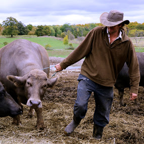 Water Buffalo  by Lacy Gillott - Animals Other Mammals ( farm, water, buffalo, animals, cheese )