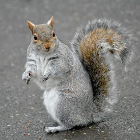 squirrel by Diane Green - Animals Other