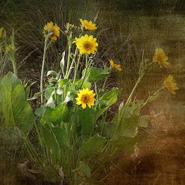 BAlsamroot textured by Gaylord Mink - Digital Art Things ( plant, textured, balsamroot, leaves, flower )