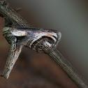 Eyed Paectes moth