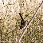 Sardinian Warbler; Curruca Cabcinegra