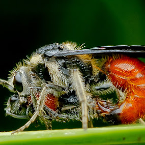 Bees by Oren Kaler - Animals Insects & Spiders ( macro, nature )