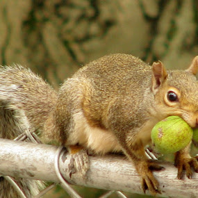 Busy Squirrel by Maureen Figueira - Novices Only Wildlife ( wildlife, nuts, busy, smart, squirrel )