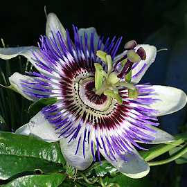 Late Bloom by Chrissie Barrow - Flowers Single Flower ( stigma, single, stamens, purple, petals, green, passiflora, white, leaves, sepals, passionflower, maroon, garden, flower,  )