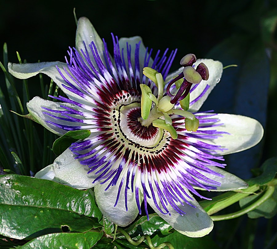 Late Bloom by Chrissie Barrow - Flowers Single Flower ( stigma, single, stamens, purple, petals, green, passiflora, white, leaves, sepals, passionflower, maroon, garden, flower )
