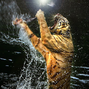 catching the light by Arif Otto - Animals Lions, Tigers & Big Cats ( tiger jump )