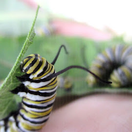 Monarch Caterpillar by Leah Lisee - Animals Other