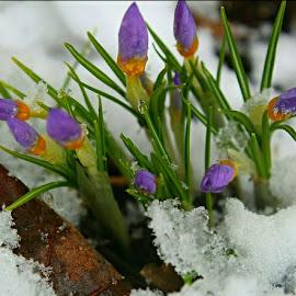 by Su San - Flowers Flower Buds
