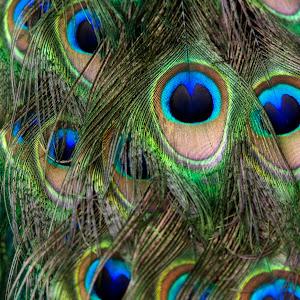 peacock feathers 2.jpg