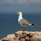 The lesser black-backed gull