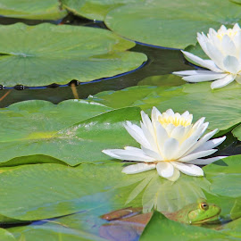 Hello Frog by Chris Dahl Kayser - Nature Up Close Leaves & Grasses ( white flower, waterscape, frog, green, water lily,  )