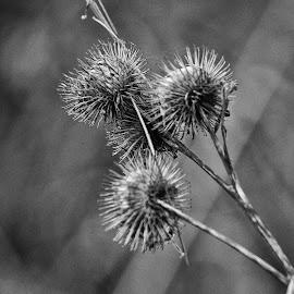 by Gerard Hildebrandt - Black & White Flowers & Plants