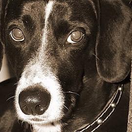 Ellie by Jennifer  Loper  - Animals - Dogs Portraits ( half dalmation, big eyes, black and white, half dauchsund, white blaze,  )