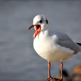 Gull by Bo Chetwyn - Uncategorized All Uncategorized ( wildlife., gull, nature, birds )