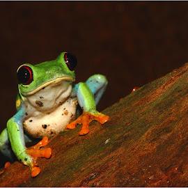 Agalychnis callidryas by Gérard CHATENET - Animals Amphibians