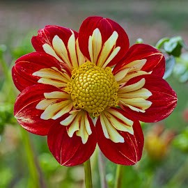 by Jim Jones - Flowers Single Flower ( macro, flowers, dahlia, dahlias, flower )