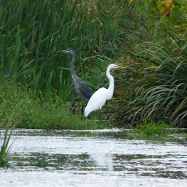 Blue Heron and Eggerit from Foots Pond, N.J. by Jen Henderson - Animals Birds (  )