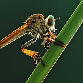 Robber fly lunch by Ujang Wahyudin - Animals Insects & Spiders ( macro, nature, indonesia, wildlife, insects, nikon, natural )