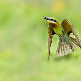 Bee-eater in flight  by Prasanna Bhat - Digital Art Animals