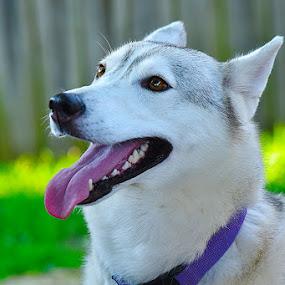Grace Portrait by Jim Westcott - Animals - Dogs Portraits ( rescue dog, dogs, pets, husky shepard mix,  )