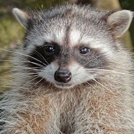 Raccoon 877 by Raphael RaCcoon - Animals Other Mammals
