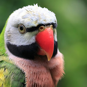 by Bop Aurelio - Animals Birds ( bird, nature, indonesia, pwctaggedbirds, animal )