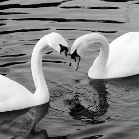 Amour by Michael Croghan - Animals Other ( water, love, swans, nature, black and white, beautiful, love sign, traditional, love heart, natural, classic )
