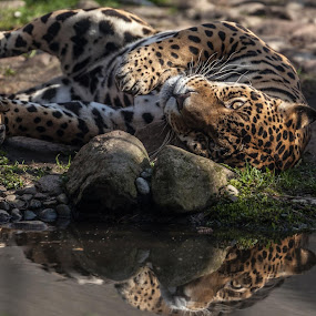 Jaguar from the Warsaw Zoo. by Wojciech Toman - Animals Lions, Tigers & Big Cats
