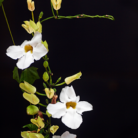 by Steven De Siow - Flowers Flower Gardens ( flower photography, flowers, white flower, flower art, flower nature,  )