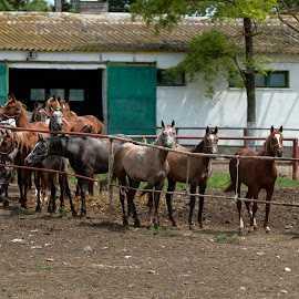 Beautiful horses by Carla Coanda - Animals Horses ( studio, nature, horses, beautiful, romania, beauty, mangalia,  )