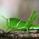 Hort winged green grasshopper