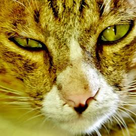 Mingoy by Say Bernardo - Animals - Cats Portraits (  )