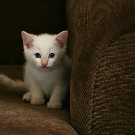 by Nora Richards - Uncategorized All Uncategorized ( kitten, cat, cute kitten, flame point siamese )