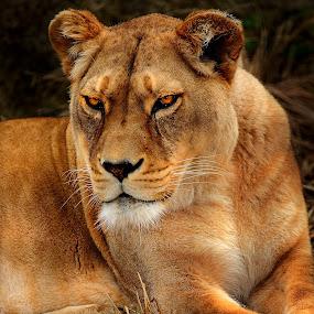 Regard méfiant de la lionne by Gérard CHATENET - Animals Lions, Tigers & Big Cats